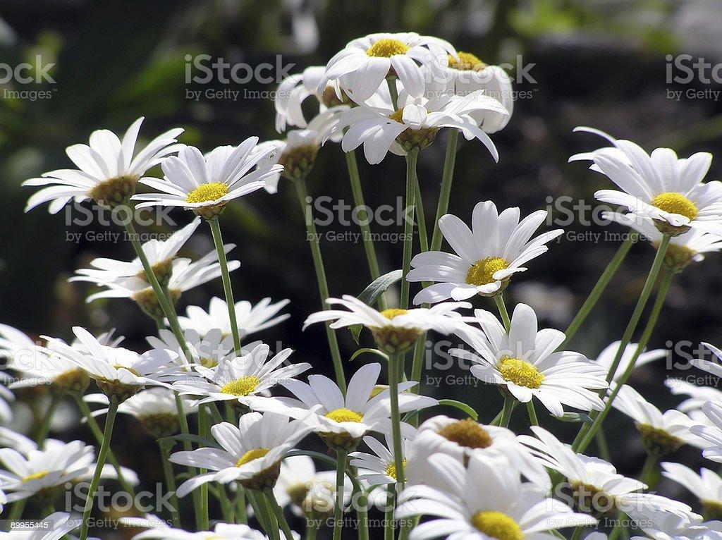 Shasta Daisy (Leucanthemum) royalty-free stock photo