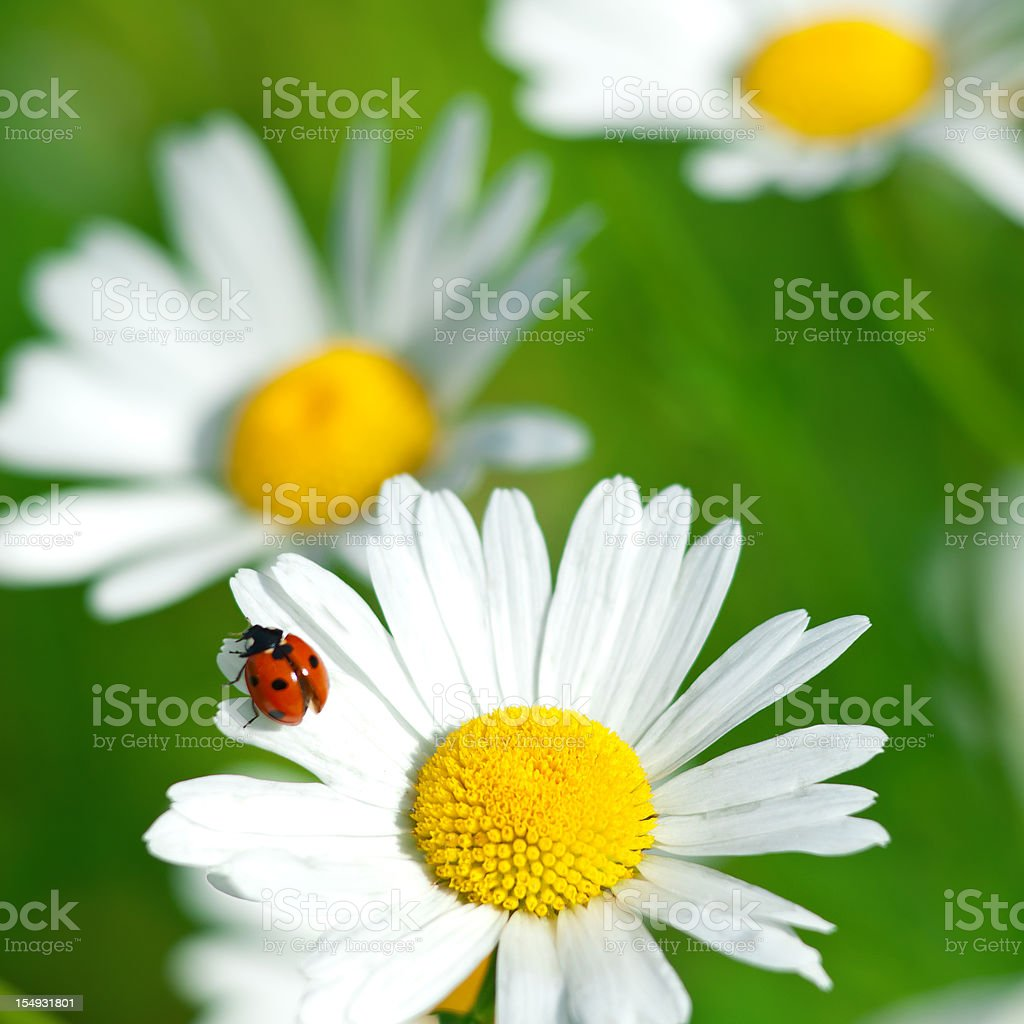 Shasta daisy (Leucanthemum x superbum) with Ladybug - V stock photo
