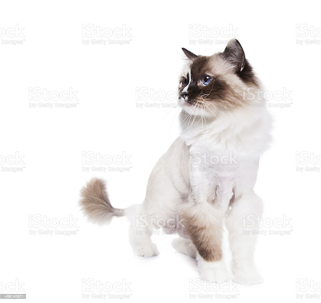 Shaved Cat stock photo