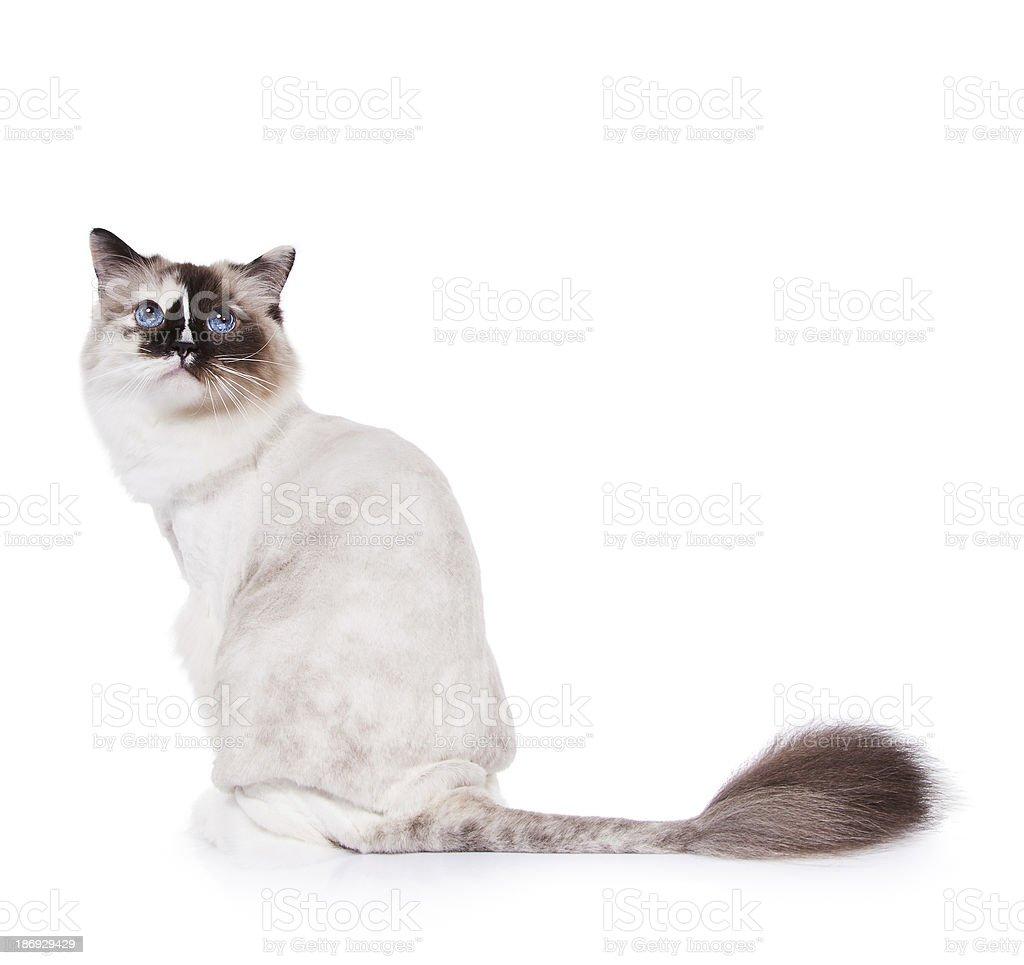 Shaved Ragdoll Cat stock photo