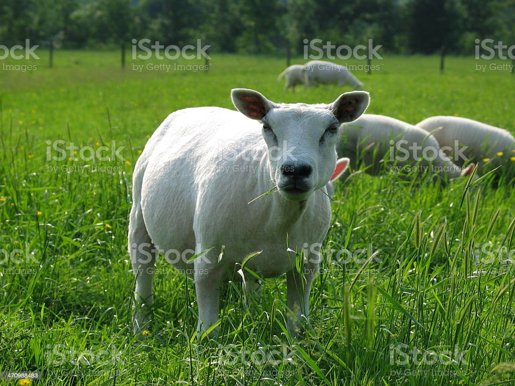 Shaven sheep in meadow stock photo
