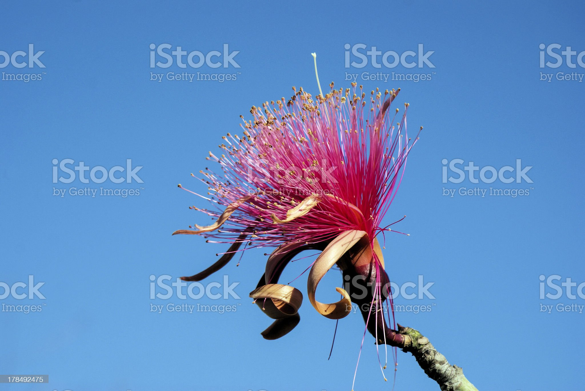 Shaving Brush Tree royalty-free stock photo