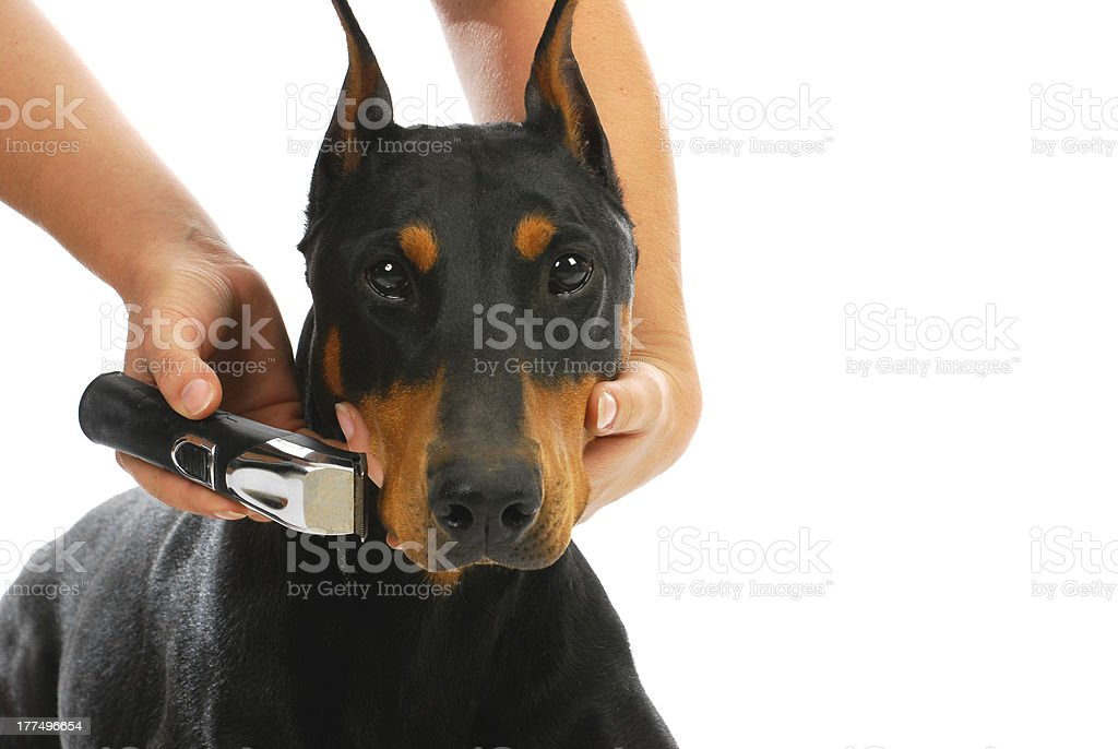 shaving dogs face royalty-free stock photo