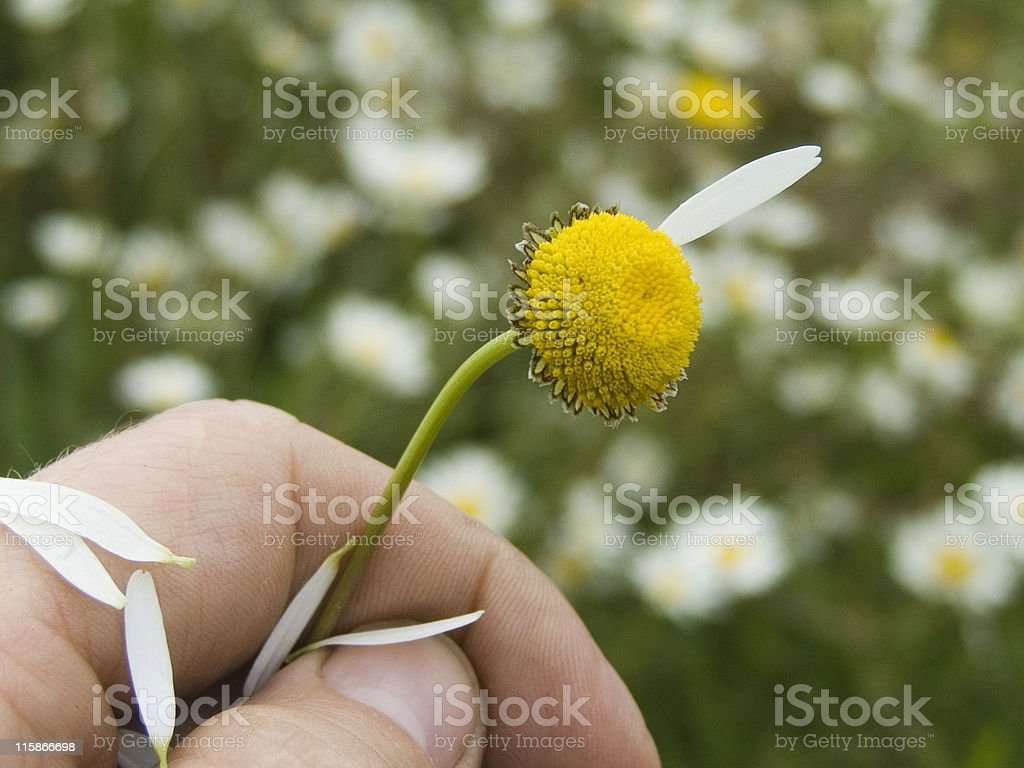 She Loves Me Not (2) royalty-free stock photo