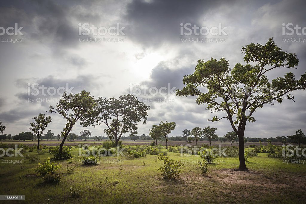 Shea Trees stock photo