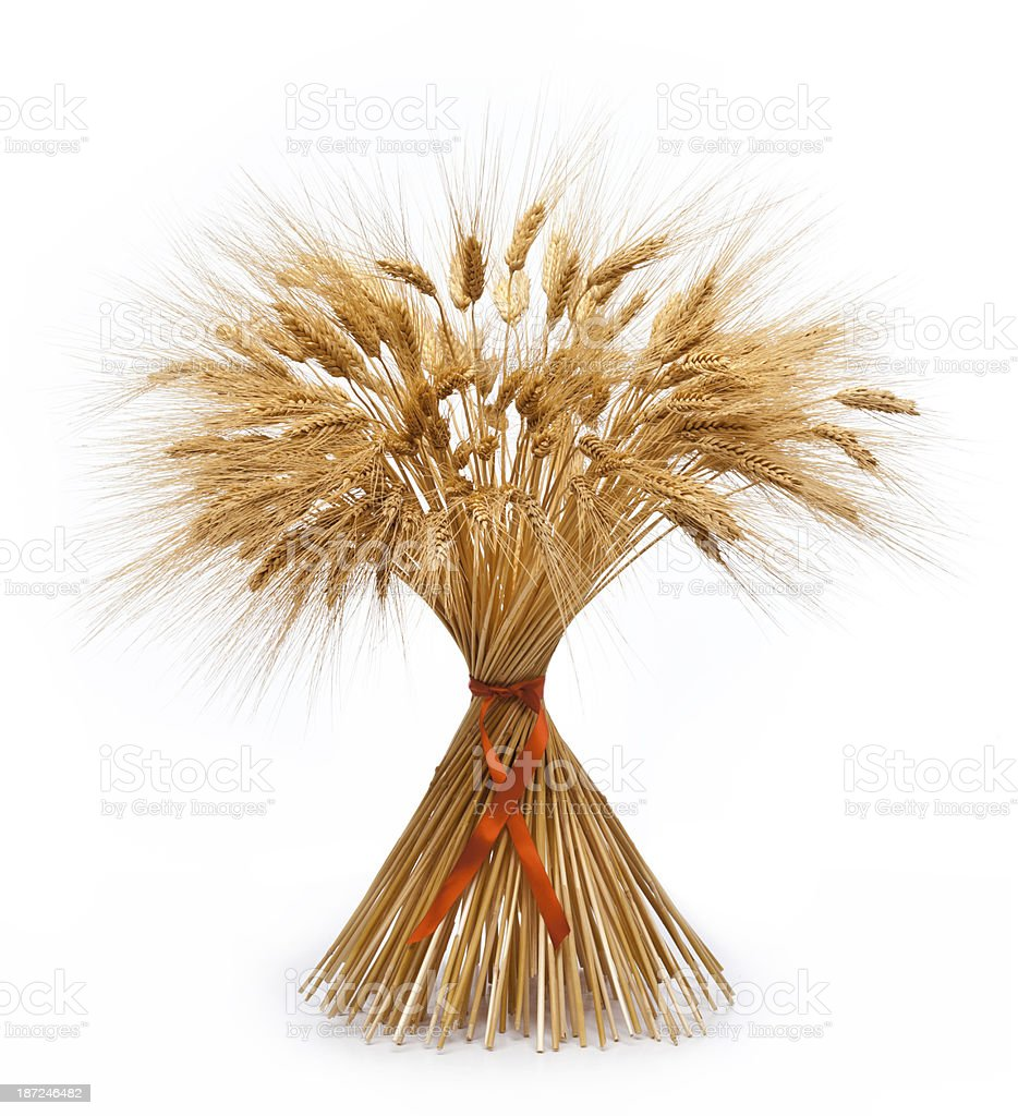 Sheaf of Dried Wheat, Autumn or Thanksgiving. Isolated on White. stock photo