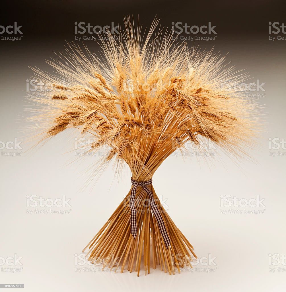 Sheaf of Dried Wheat for Autumn Theme. Isolated on White. stock photo