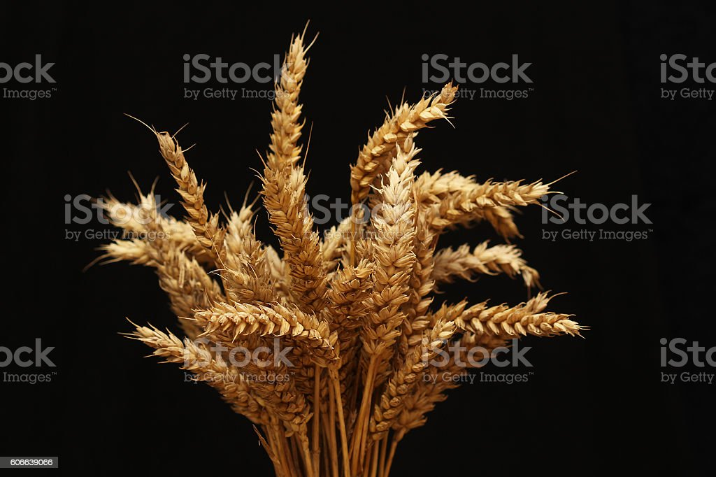 Sheaf of golden wheat against black background stock photo