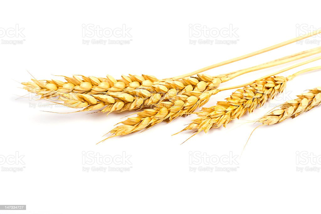 Sheaf of wheat on a white background stock photo