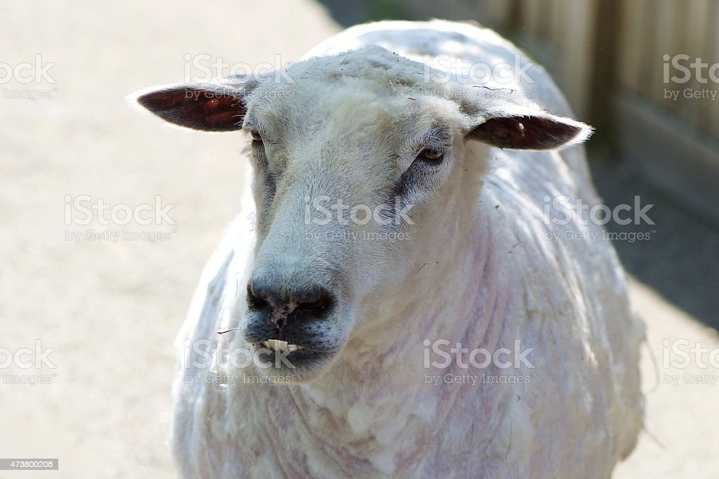 Sheared stock photo