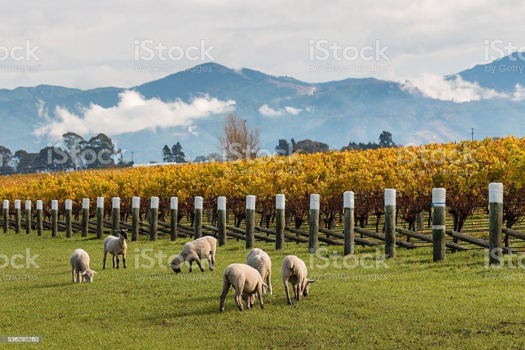 sheared sheep grazing in autumn vineyard stock photo