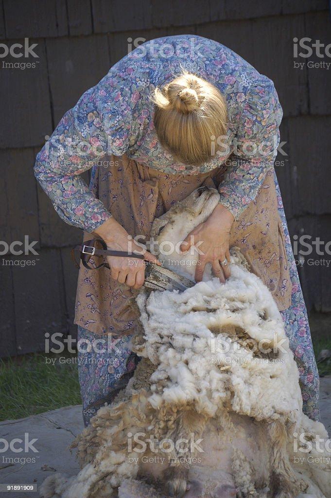 Shearing Sheep III stock photo