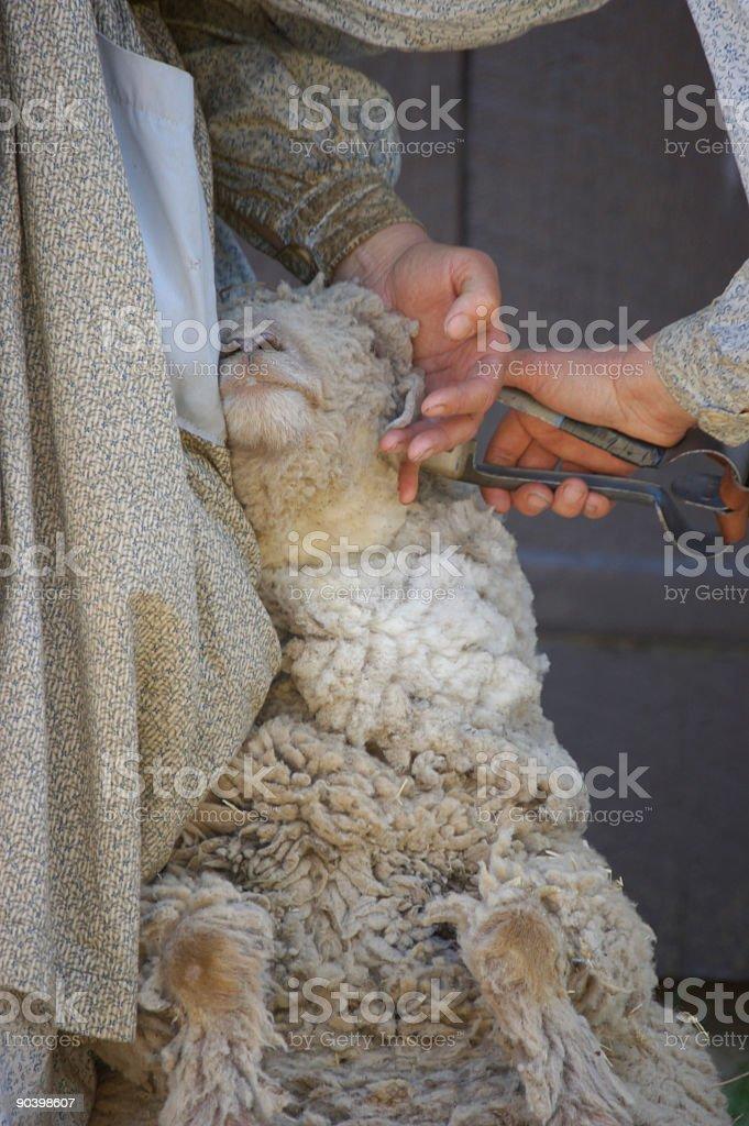 Shearing Sheep VII stock photo