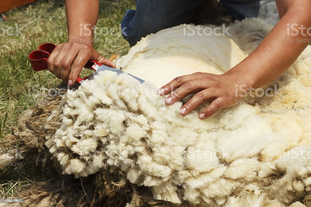 Shearing time stock photo