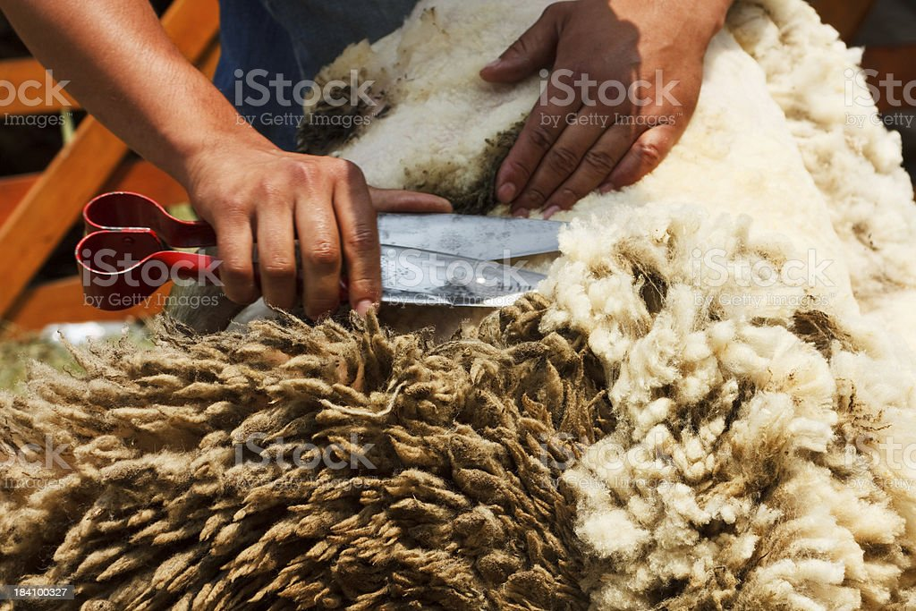 Shearing time stock photo