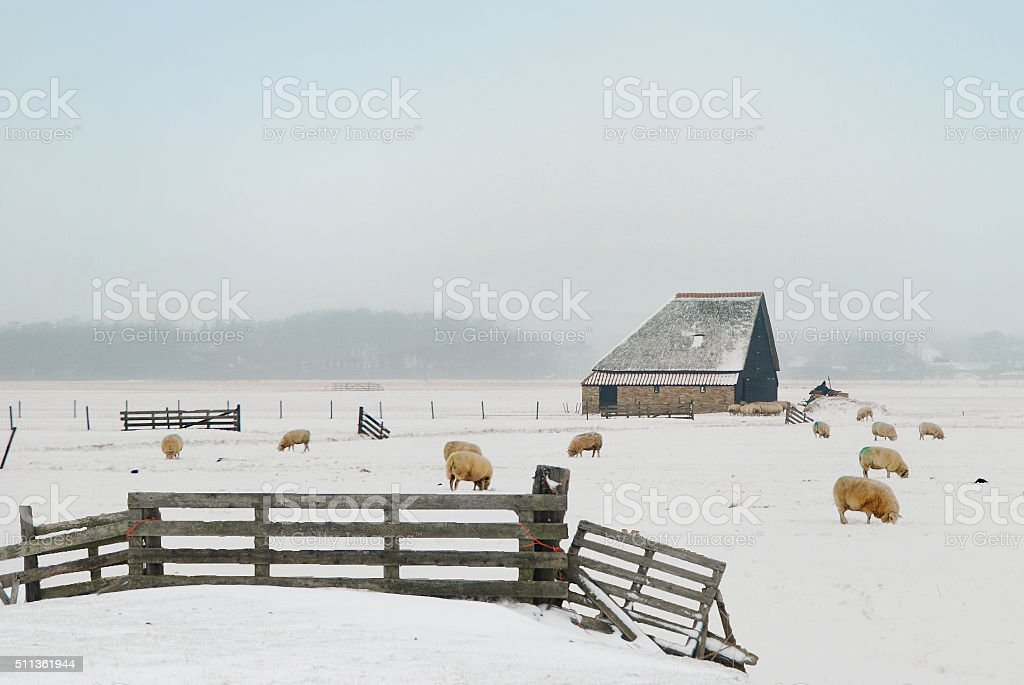 Shed and sheep in Dutch winter landscape stock photo