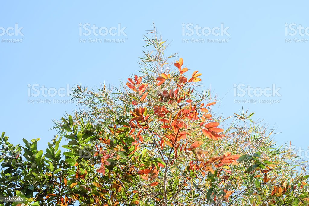 shed leaves,Leaves on Autumn and blue sky stock photo