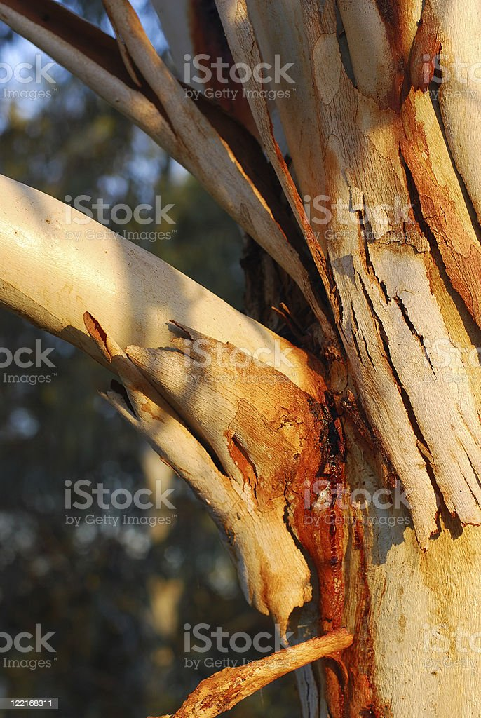 Shedding a Layer Tree Bark royalty-free stock photo