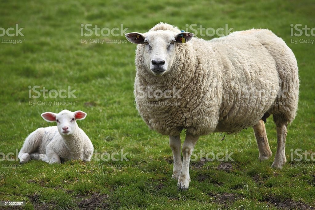 Sheep and a lamb stock photo