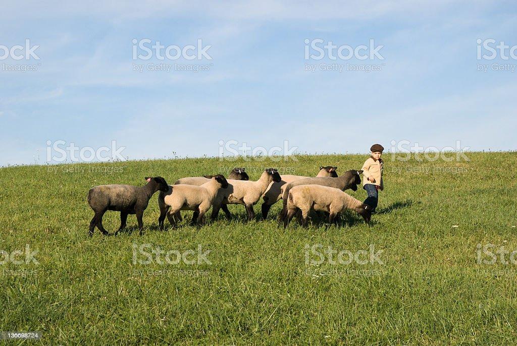 Sheep and Boy Shepherd in Sunny Farm Field stock photo