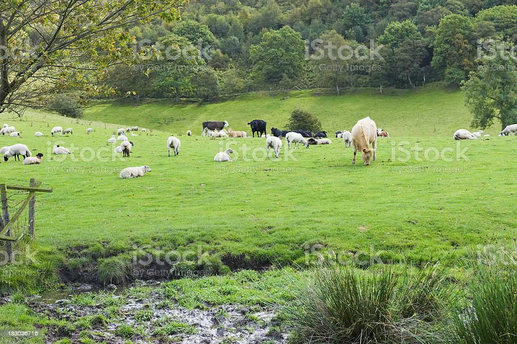 Sheep and cattle in an English meadow royalty-free stock photo