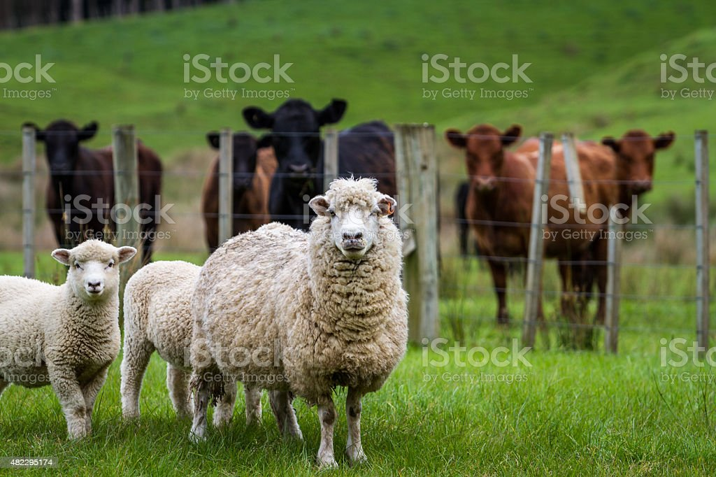 Sheep and cattle stock photo