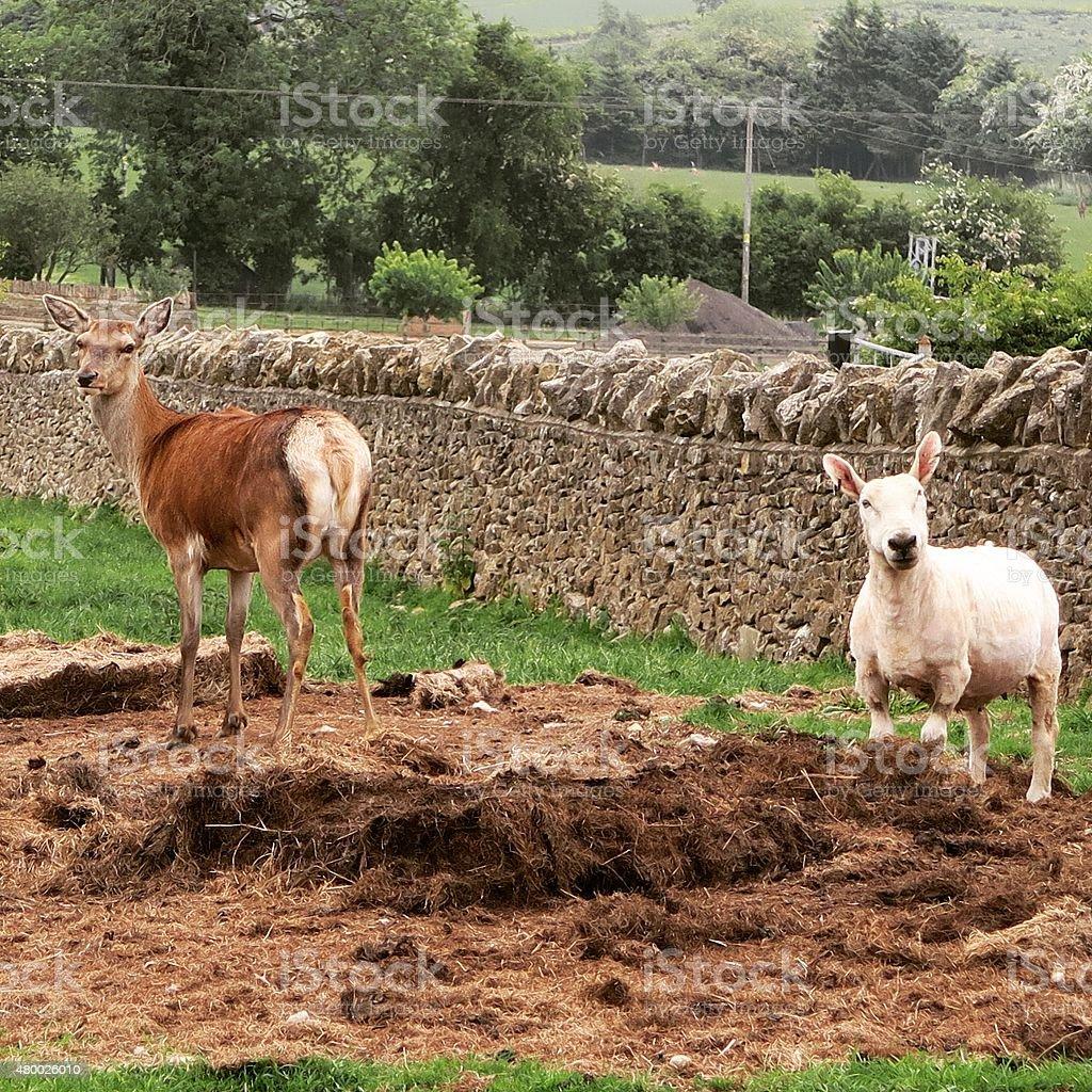 Sheep and Deer stock photo