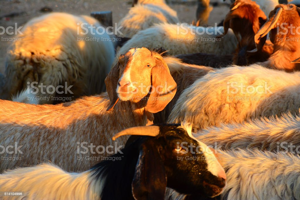 Sheep and goats in a herd stock photo