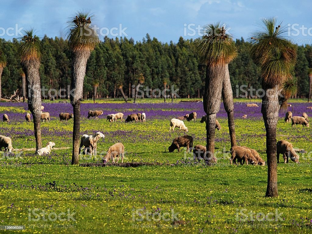 Sheep and Grass Trees stock photo
