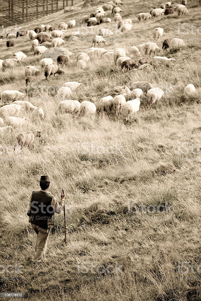 Sheep and Herder in Field stock photo