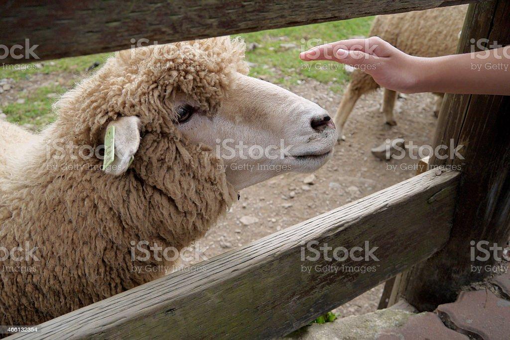 Pecore e Mano umana foto stock royalty-free
