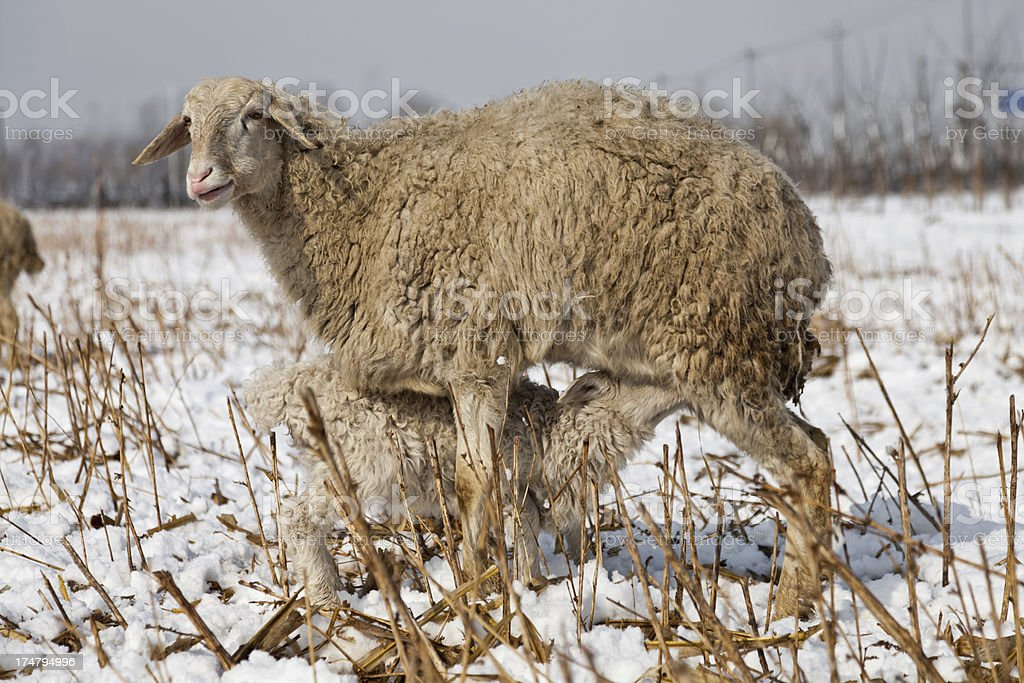 Sheep and lamb grazing in winter snow royalty-free stock photo