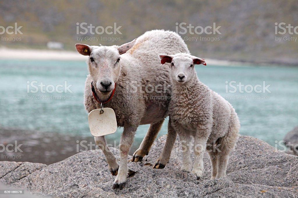 Sheep and lamb in coast stock photo