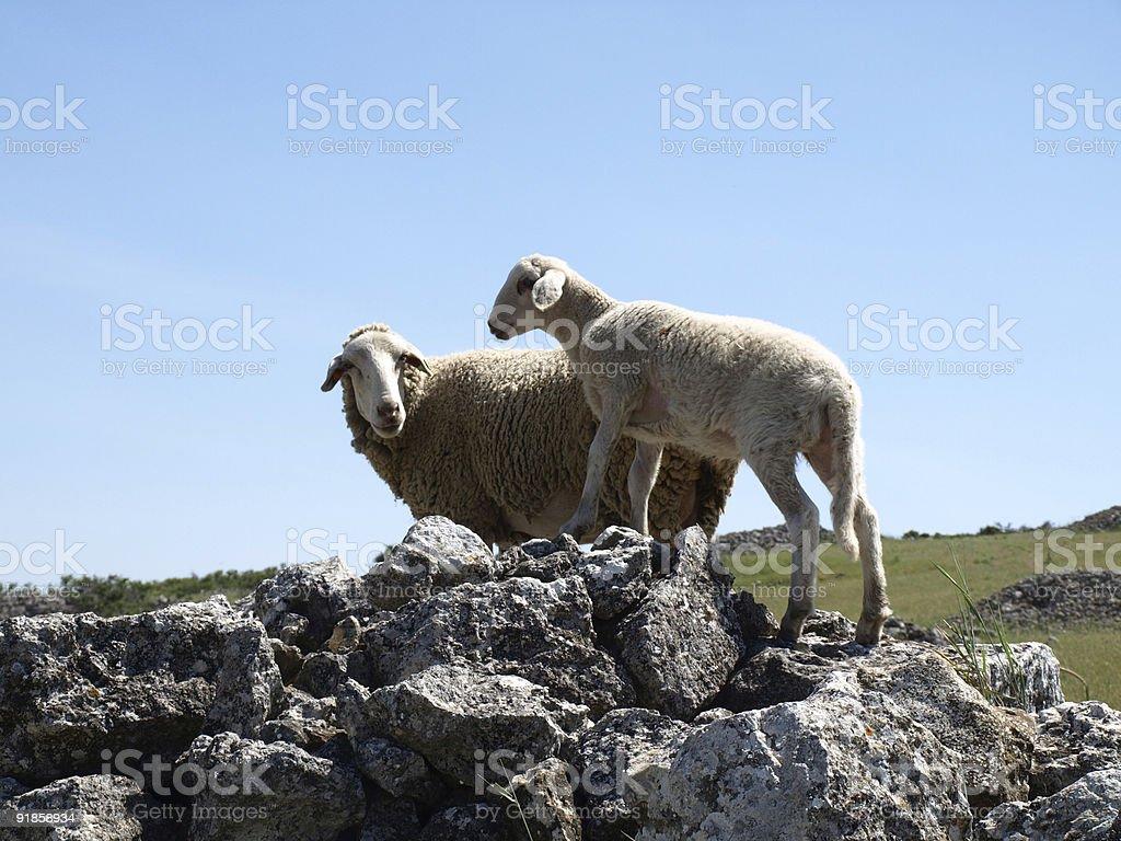 Sheep and lamb, on rocks stock photo