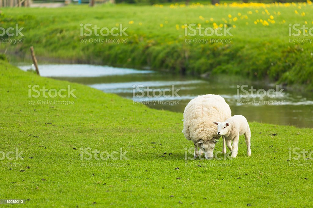 Sheep and lamb royalty-free stock photo