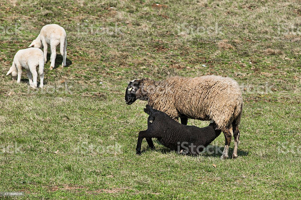 Sheep and lambs grazing stock photo