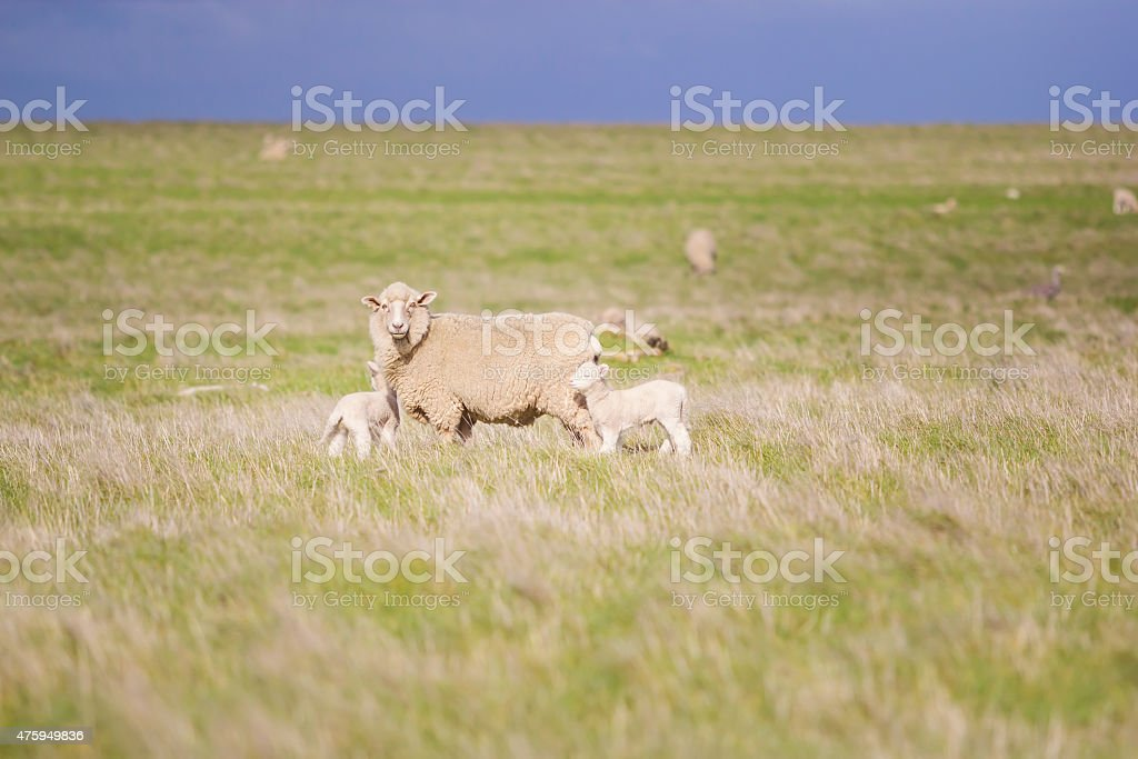 Sheep and lambs in field,Soft focus royalty-free stock photo