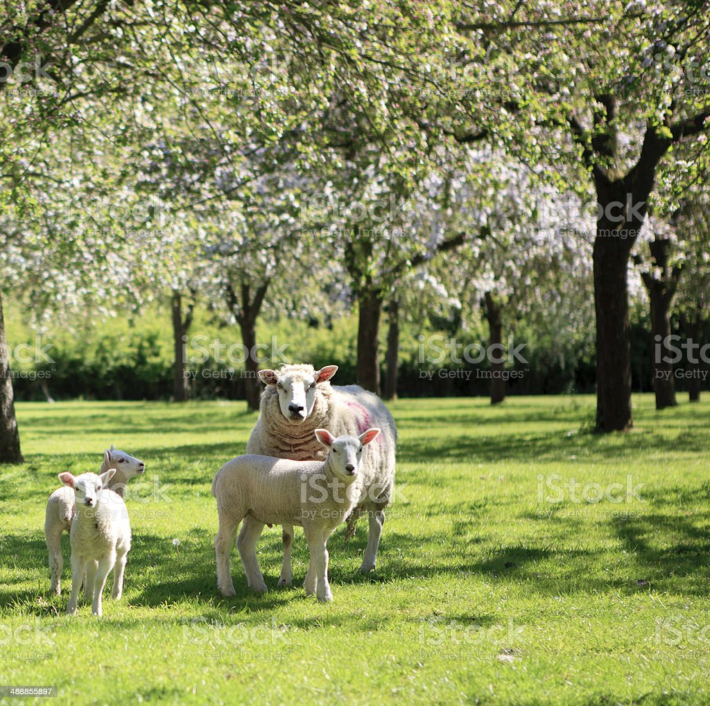 Sheep and lambs in the beautiful orchard stock photo