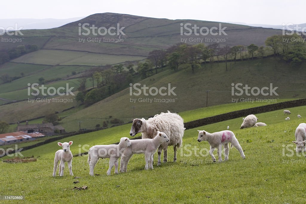 Sheep and lambs on hillside stock photo