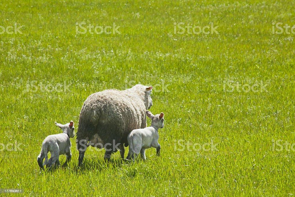 Sheep and lambs royalty-free stock photo
