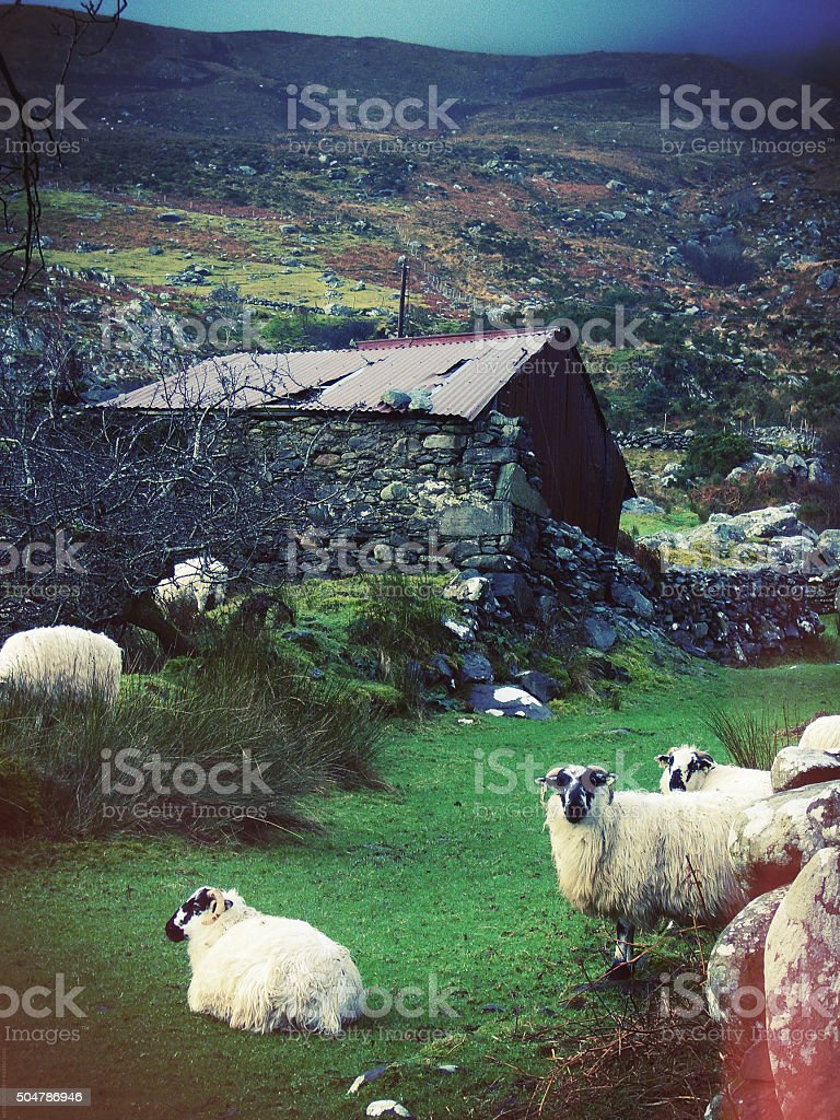 sheep and old cottage_Gap Of Dunloe_ Irish countryside stock photo