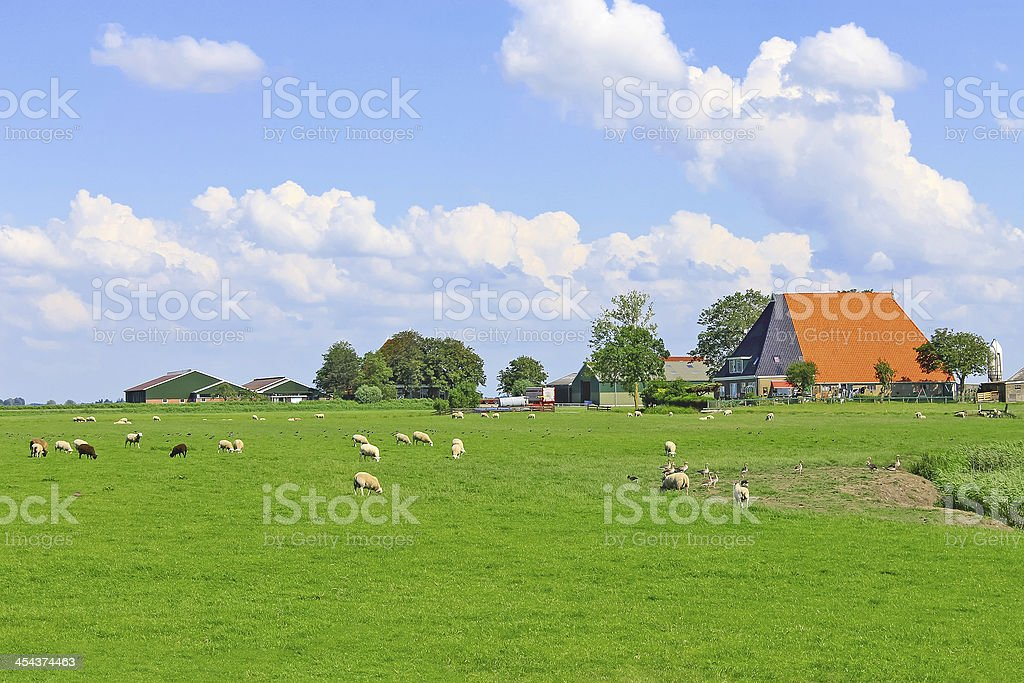 Sheep and poultry grazing in a meadow royalty-free stock photo