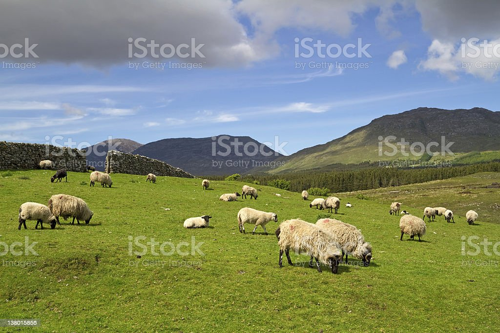 Sheep and rams in the mountains of Connemara, IRL stock photo