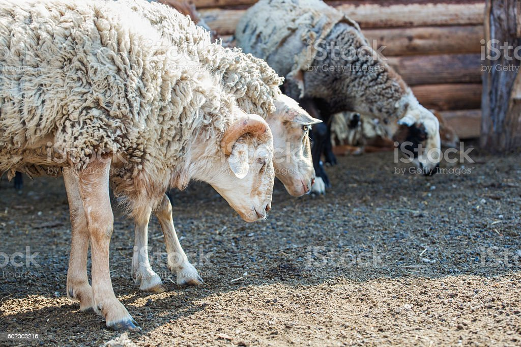 Sheep and sheep in a pen at the farm. stock photo