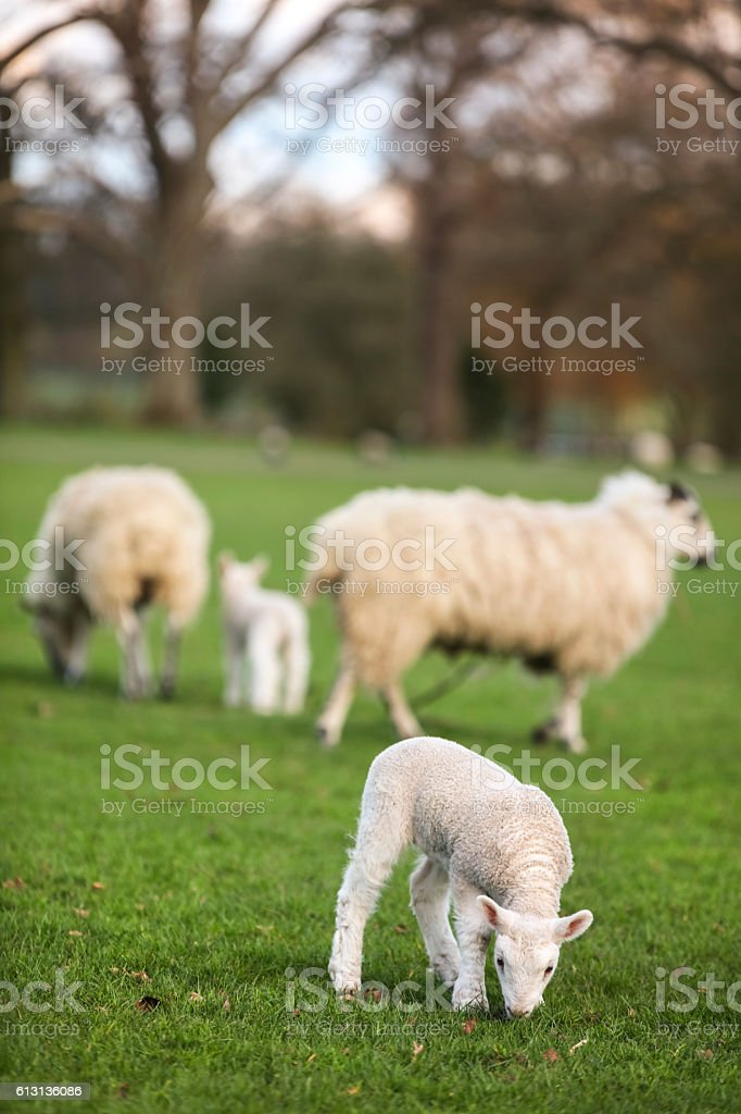 Sheep and Spring Baby Lambs in A Field stock photo