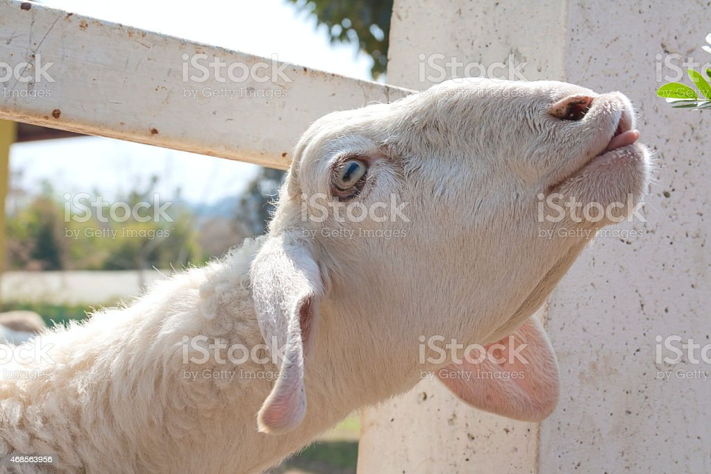 Sheep and the green grass royalty-free stock photo