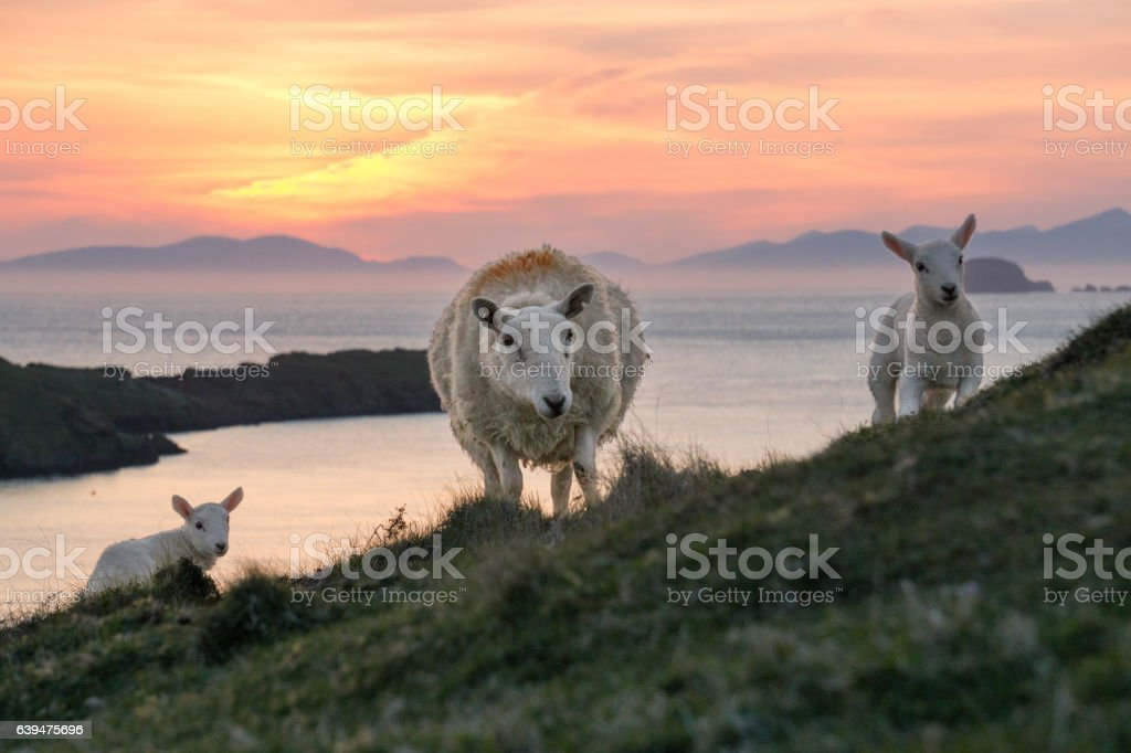 Sheep and two lambs at Scotlands coast in the sunset stock photo