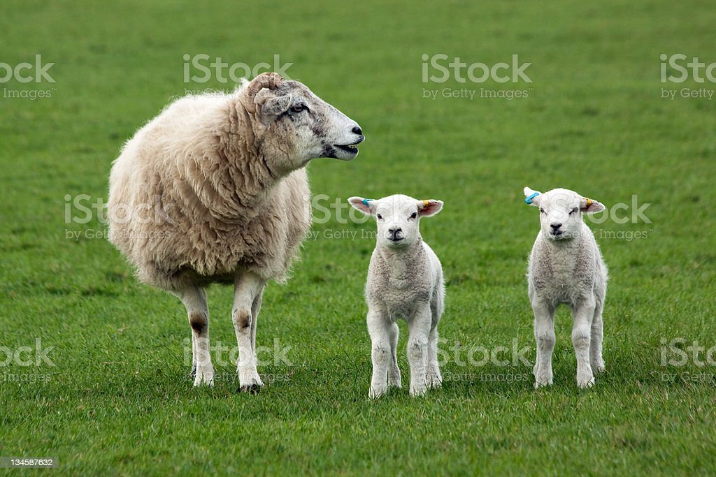 Sheep and Two Lambs royalty-free stock photo