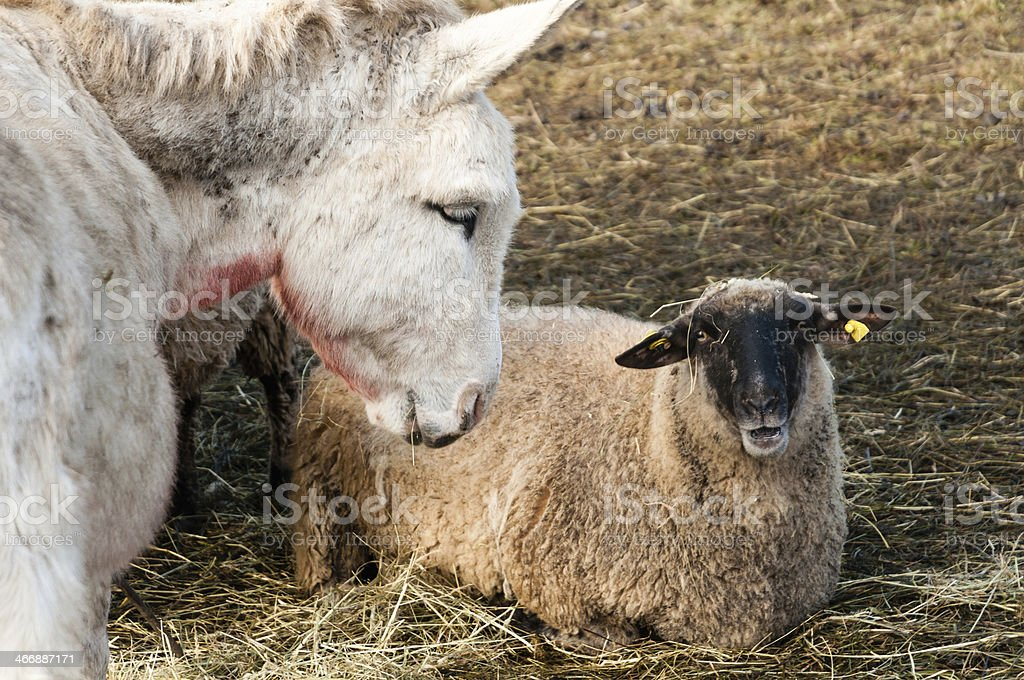Sheep and white donkey in the pasture. Livestock, southern Germany stock photo