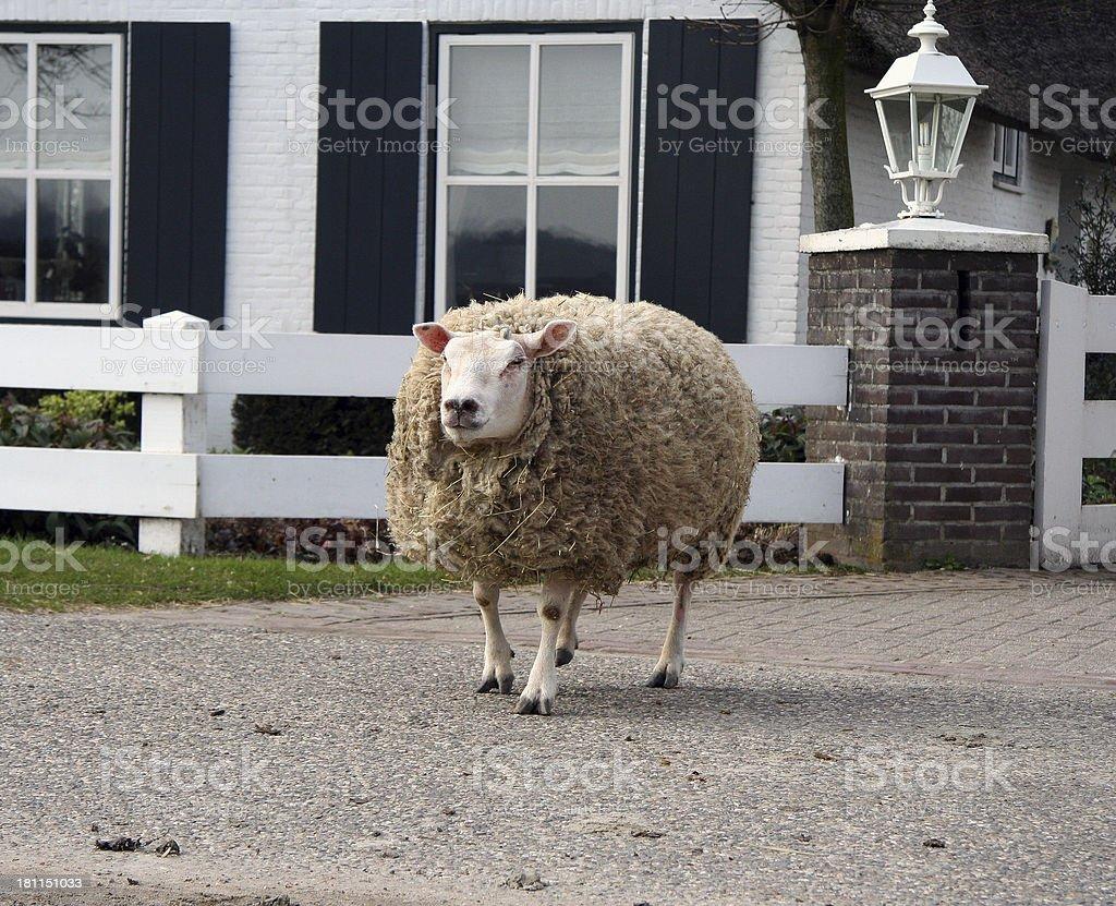 Sheep as watchdog royalty-free stock photo